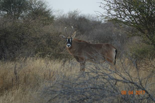 8_Roan Antelope