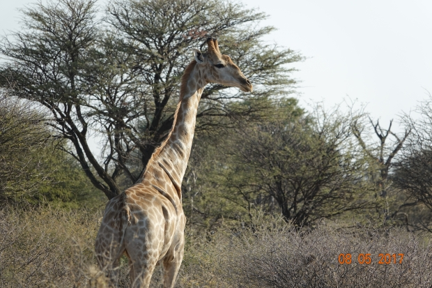 9_Giraffe