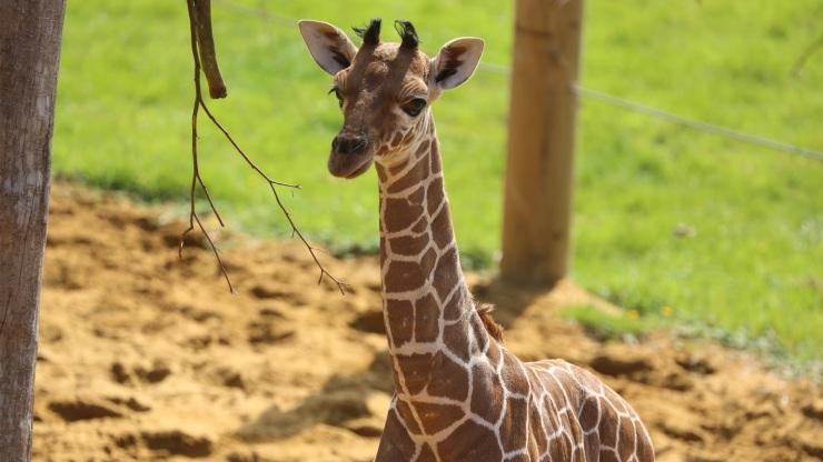 Giraffe 2 fr