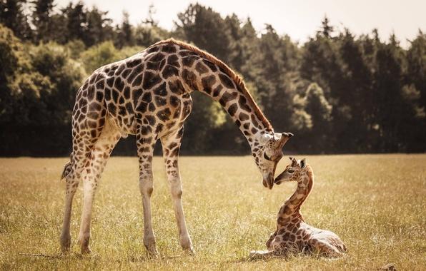 Giraffe 4.jpg